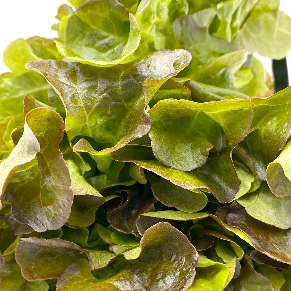 (免運)【MOS摩斯漢堡】水耕蔬菜嘗鮮組-奶油波士頓萵苣(180g / 包)(3入)紅橡木萵苣(150g / 包)(3入)(限時贈和風醬(220g / 罐)(1入) 3