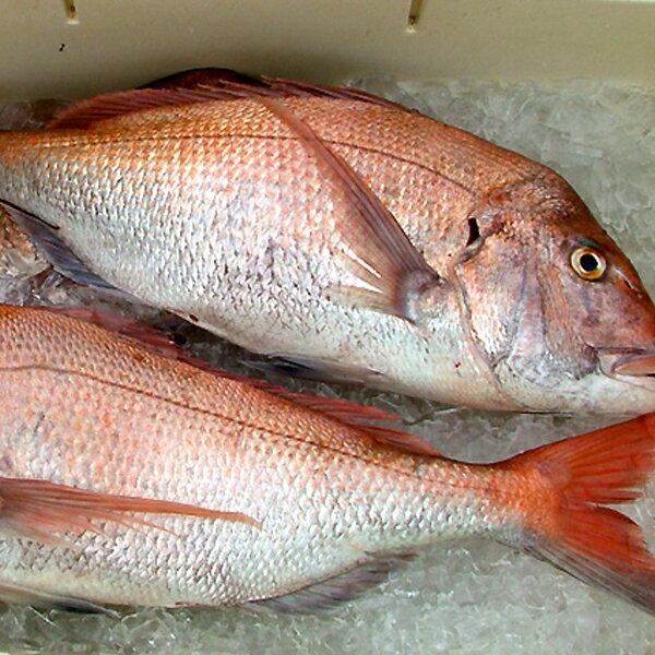 【船長幫我抓】野生迦納魚 | 台灣餐桌上的人氣魚類   550克±10% 2