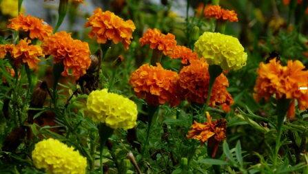 ~尋花趣~美國 田間撒播 孔雀菊 混合色 草花 種子花海 每包50公克 約13 000粒