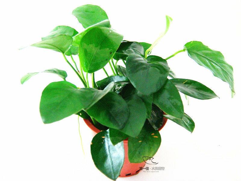 [第一佳 水族寵物]真水草-小榕 陰性水草(隨便種都長的活的草種C02不用也可)