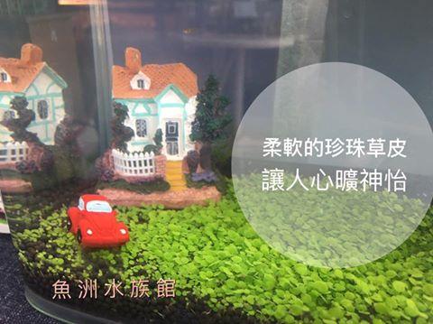 珍珠草 水草種子 天然水草 前景草 日本珍珠草 矮迷你矮珍珠草 水草迷你盆栽 景觀瓶