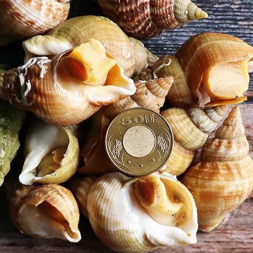 【築地一番鮮】法國野生船凍格蘭維爾海螺(30010%/包)-任選
