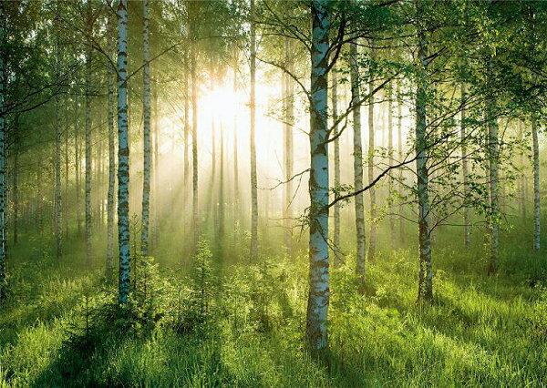 壁紙屋本舖:白樺木風景畫MIT芬蘭景畫壁畫客廳壁畫8055