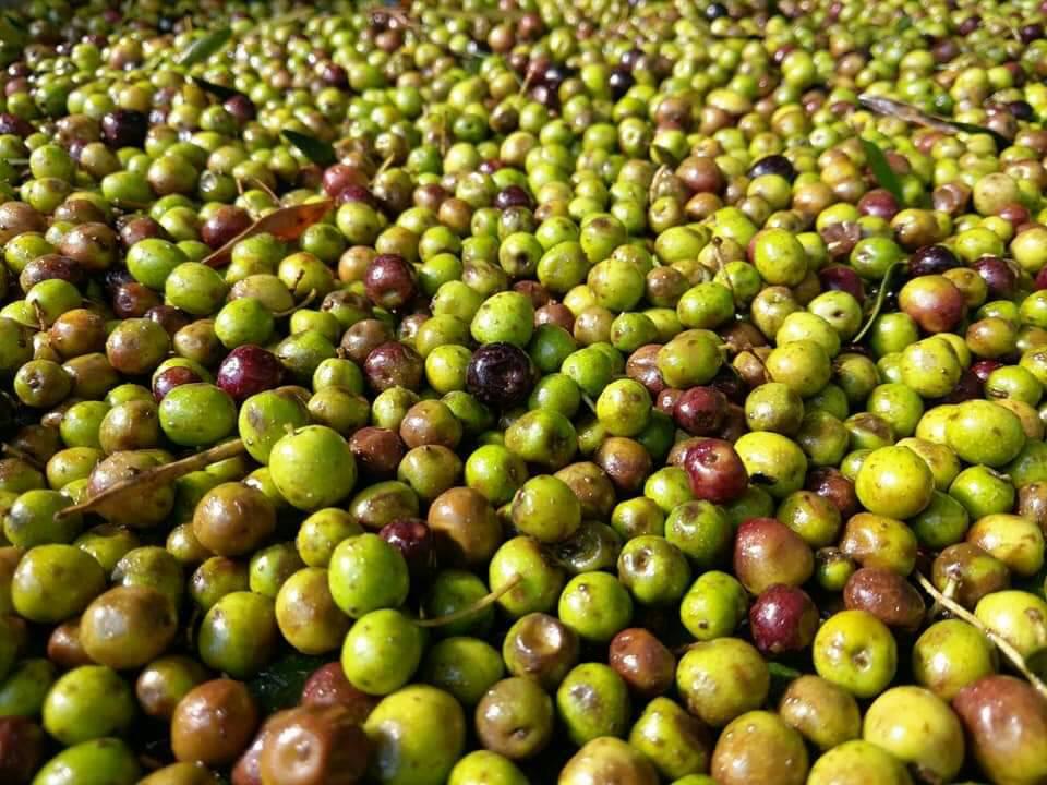 100%阿貝金納橄欖油單一品種級初榨冷壓有果香和杏仁香  1000ml 冷壓橄欖油 調理油 食用油 西班牙進口