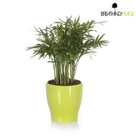 淨化空氣~袖珍椰子精緻小盆栽(黃造型盆)