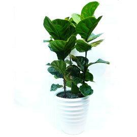 居家辦公室擺飾精選~琴葉榕大型盆栽