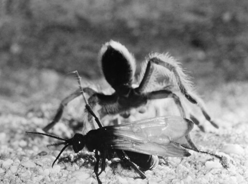 Wasp & Tarantula Ntarantula Hunted And Paralyzed By A Female Pepsis Wasp (Also Known As A Tarantula Hawk) Poster Print by (18 x 24) 6c0ca253f1075d0d9c7f386c237afeb0