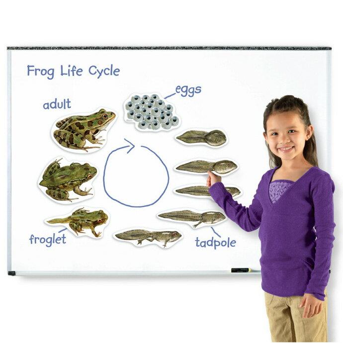 ~華森葳兒童教玩具~科學教具系列~超大磁性青蛙的一生 N1~6041