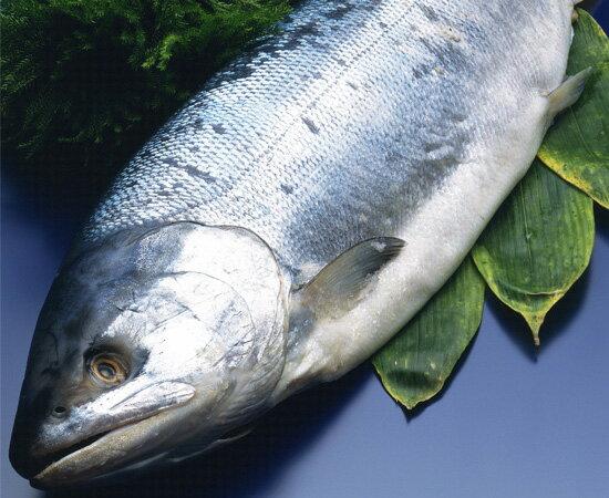 智利鮮凍整尾霸王鮭魚 8kg上