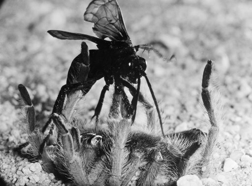 Wasp & Tarantula Ntarantula Hunted And Paralyzed By A Female Pepsis Wasp (Also Known As A Tarantula Hawk) Poster Print by (18 x 24) db99bdc3a30f753d19558a12a577c8f7