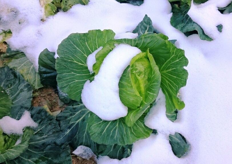 【將豪健康農產】冬季-初秋高麗菜 (約900~1200g/ 顆)難的一見的雪藏極品