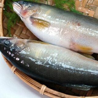 【築地一番鮮】宜蘭特選卵香魚(約200g/尾)