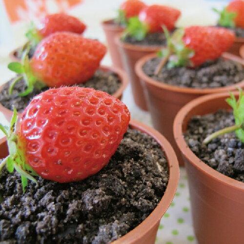 草莓盆栽提拉米蘇(團購十盒 / 一盒$350)