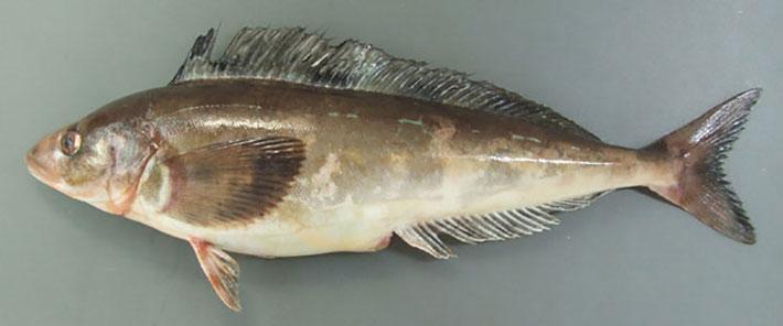 北海道產★𩸽魚一夜干(真ほっけ) -1隻約270克 4