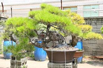 <br/><br/>  赤松 中型盆栽<br/><br/>