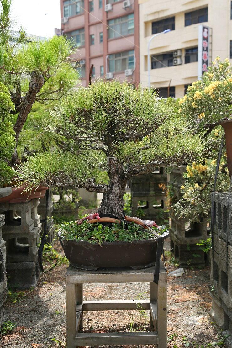 黑松 小型盆栽