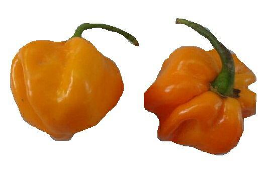 【尋花趣】魔鬼椒-黃果 辣椒 25粒包  保證新鮮種子