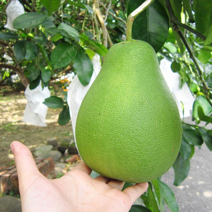 [特優級]麻豆老欉文旦柚-3KG(6~8顆) 寶柚 柚子 中秋 禮盒