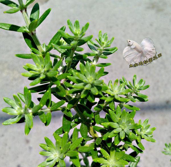 5吋盆  澳大利亞迷迭香盆栽 特殊品種迷迭香  活體香草植物盆栽 可食用.料理或泡茶 ~