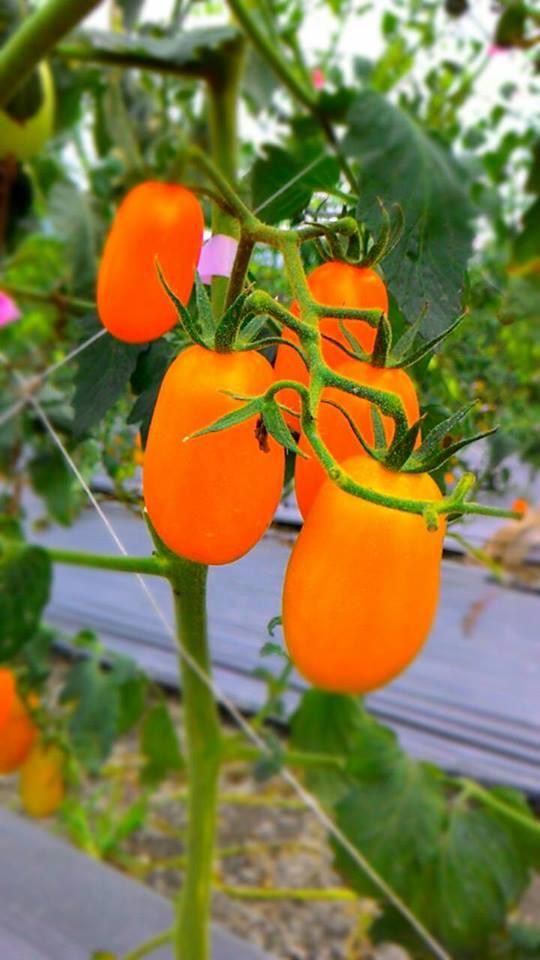 有機栽作無毒橙蜜香小番茄~3斤裝$299