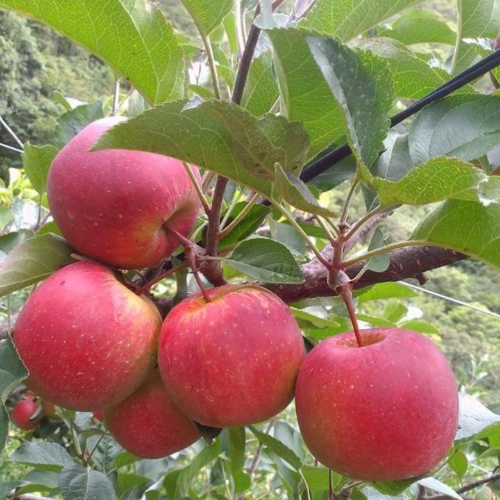 【預購9月初~9月底】櫻桃蘋果10斤裝 / 尚品果園