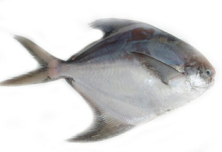 【海濱海產】白鯧魚(斗鯧)(中) 2尾