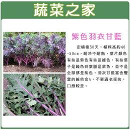 大包裝A74.紫色羽衣甘藍種子10克