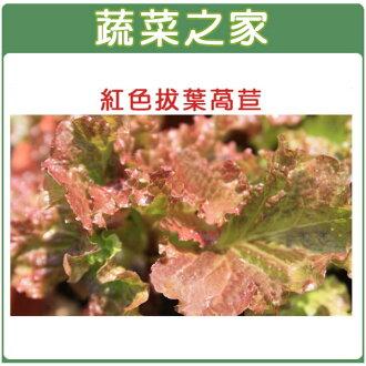 【蔬菜之家】A31.紅葉拔葉甜萵苣種子800顆(日本進口拔葉A菜)