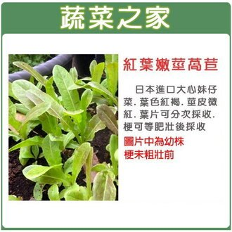 【蔬菜之家】A55.紅葉嫩莖萵苣1500顆