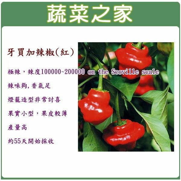 ~蔬菜之家~大包裝G46.牙買加辣椒 紅 極辣 種子80顆