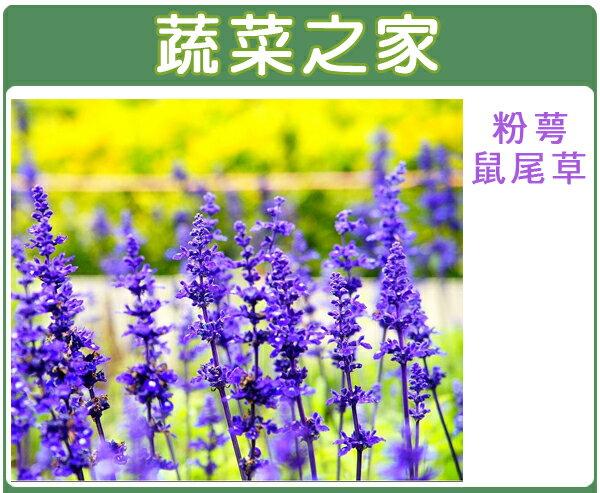 H17.粉萼鼠尾草種子50顆