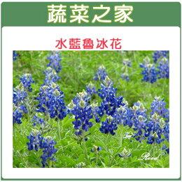 【蔬菜之家】H05.魯冰花(水藍色)種子30顆