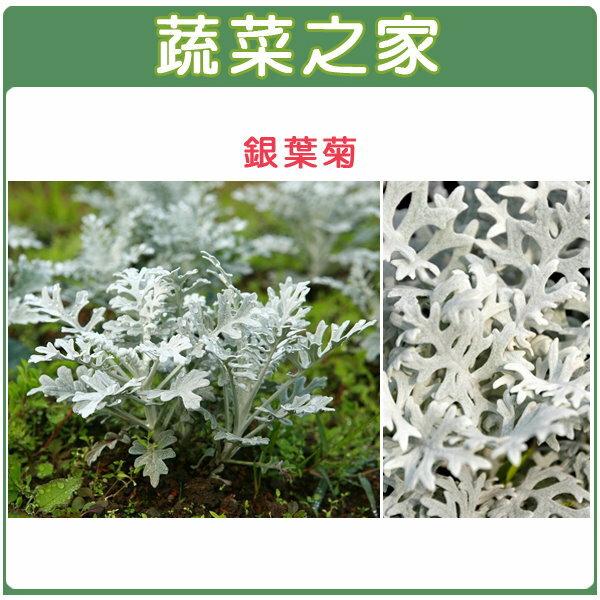 【蔬菜之家】H20.銀葉菊(銀色,高15~25cm)種子20顆