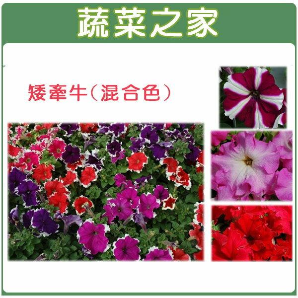 【蔬菜之家】大包裝H34.矮牽牛(混合色,高40~50cm)種子900顆