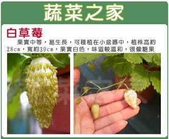 【蔬菜之家】大包裝I08.糖果草莓種子(白色.英國進口)120顆