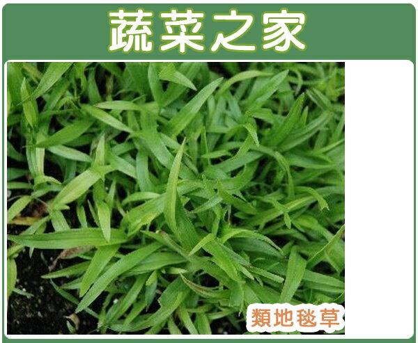 大包裝M03.類地毯草種子60克