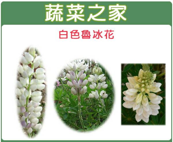 【蔬菜之家】H06.魯冰花(旺花白色)種子30顆