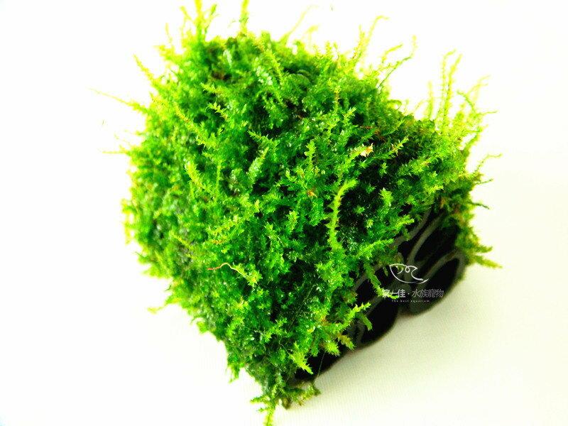 [第一佳 水族寵物] 真水草 -陰性水草 [小三角默思/莫絲- 竹炭管 六管蝦屋] (造景、淨水兼具,非一般橡膠管)