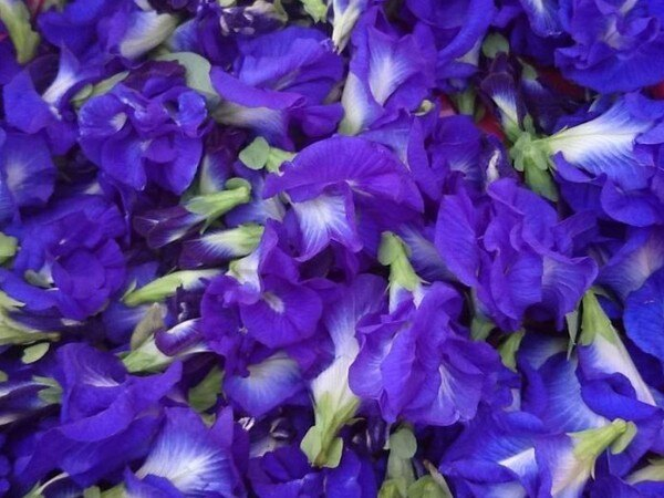 蝶豆花台灣種植花青素重瓣複瓣
