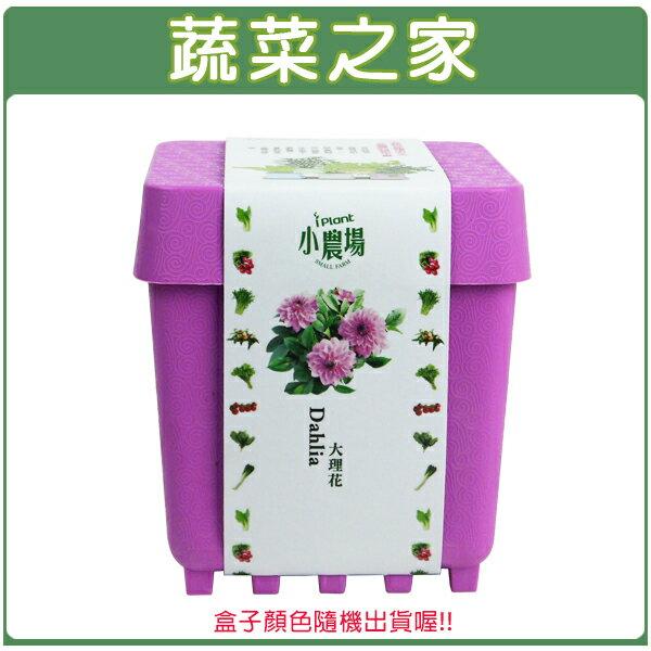 【蔬菜之家004-D18】iPlant小農場系列-大理花
