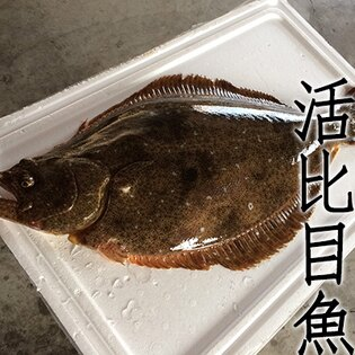 ㊣盅龐水產◇活體比目魚◇1.2~1.5kg隻(辦桌.批發.團購.長期配合)