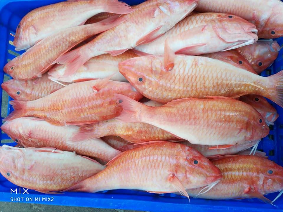 澎湖野生紅秋哥/(300g)海鮮 水產 鮮魚 冷凍