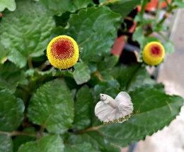 活體香草植物盆栽 可食用 料理 泡茶 日照
