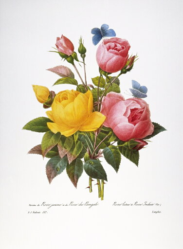 Redoute Roses 1833 Nyellow Rose (Rosa Lutea Maxima) And China Rose (Rosa Chinensis) Engraving After A Painting By Pierre-Joseph Redoute For His Choix Des Plus Belles Fleurs Paris 1833 Poster Print by (24 x 36) d40d0c6eebc7306dbeb89e0f8235e758