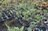 真柏30*20*18公分 植物 盆栽 綠屋園藝 1