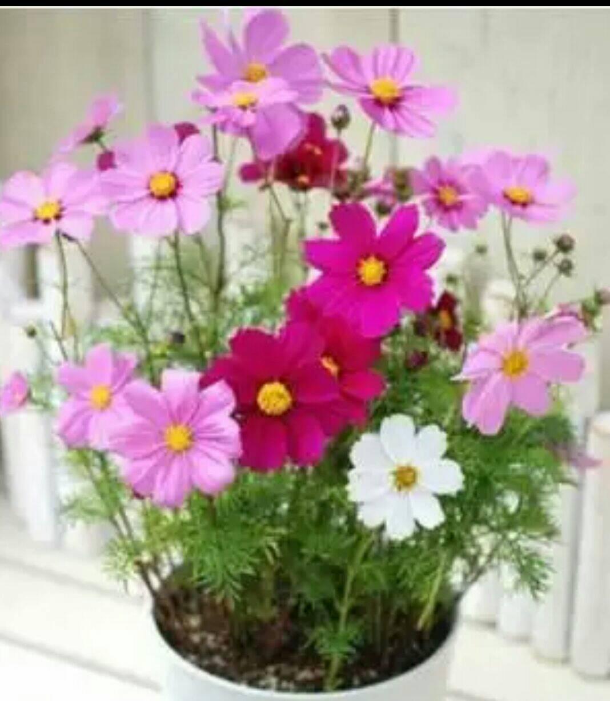 【尋花趣】日本進口 矮性花壇用大波斯菊種子(混合色) 每包50粒