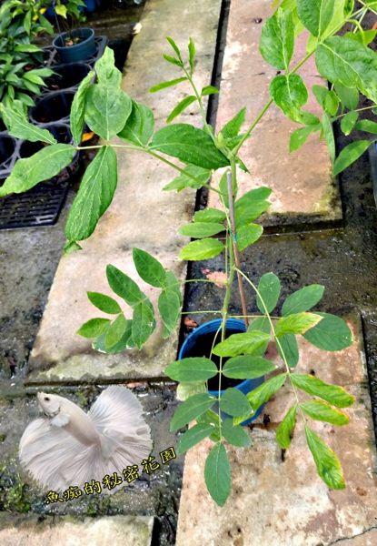 5吋盆[ 狗尾草盆栽 九尾呆 傳統中藥材 可燉雞湯 ] 活體香草植物盆栽可食用.料理或泡茶~半日照佳~