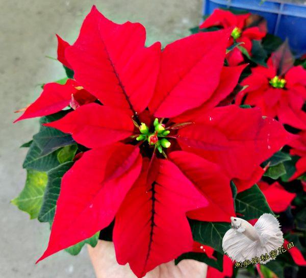 3吋盆 紅色聖誕紅盆栽 [[品種隨機出貨!]] 室內植物活體盆栽 半日照佳 聖誕節禮物盆栽 ~季節限定~不是隨時都有貨~