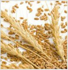 冷壓未精製小麥胚芽油