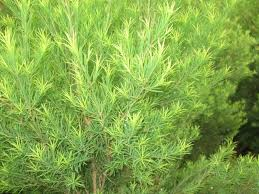 澳洲茶樹精油(有機認證)